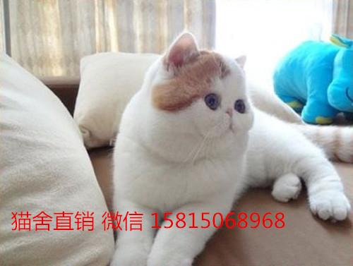 深圳纯种加菲猫价格深圳哪里有卖加菲猫猫