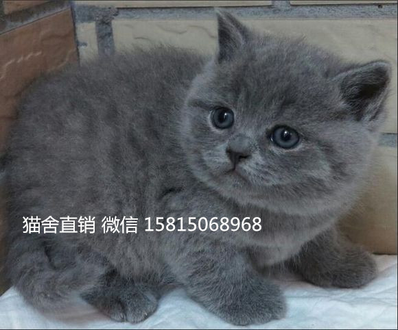 大型实体猫舍广州哪里有蓝猫卖 蓝猫温顺