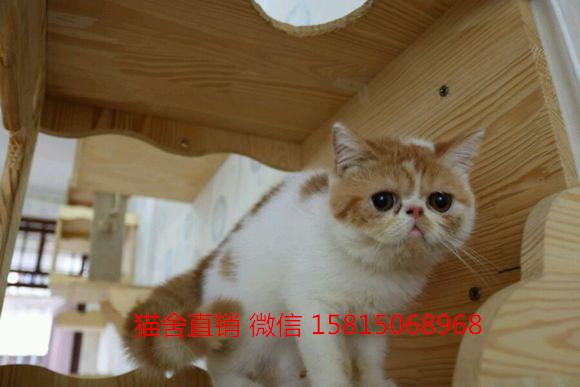 佛山哪里有加菲猫买?较好的猫舍