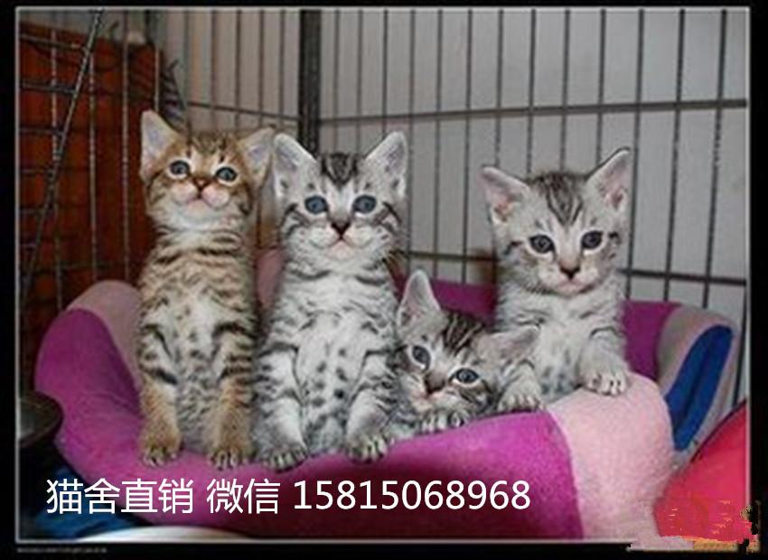 优质健康的宠物猫 买豹猫选这家广州哪里有卖豹猫2