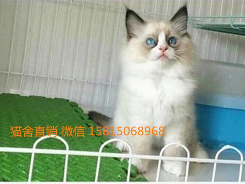 深圳哪里有卖布偶猫。可靠的布偶猫舍在哪呢