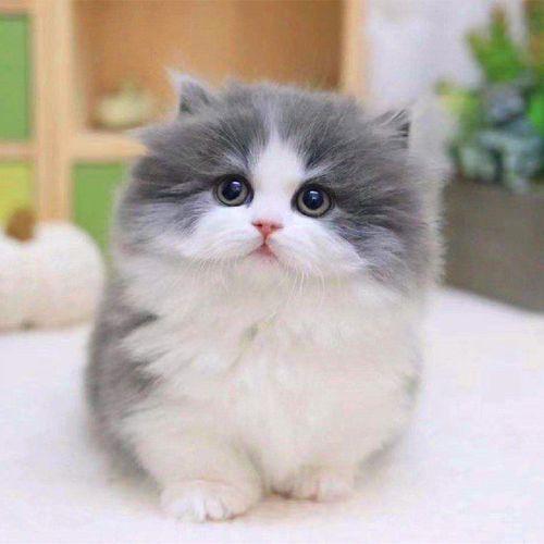 矮脚猫出售?纯种健康佛山哪里有卖矮腿猫