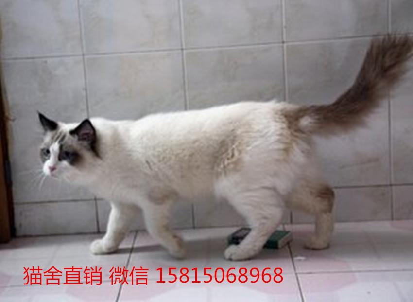 佛山靠谱的布偶猫猫舍,佛山哪里有卖布偶猫