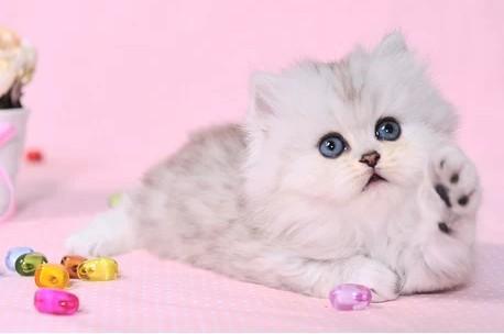 珠海哪里有卖金吉拉猫,买猫在哪里买放心