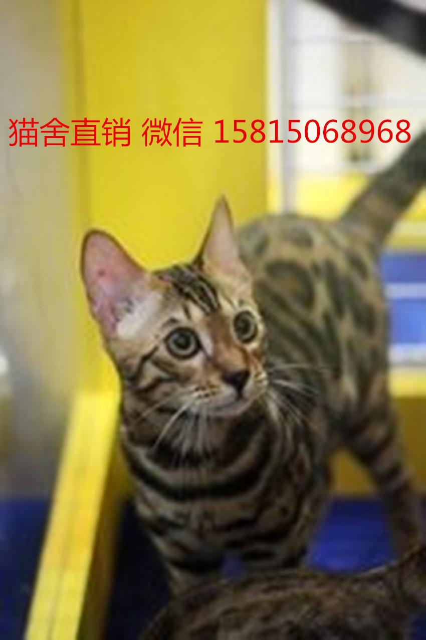 优质健康的宠物猫 买豹猫选这家广州哪里有卖豹猫