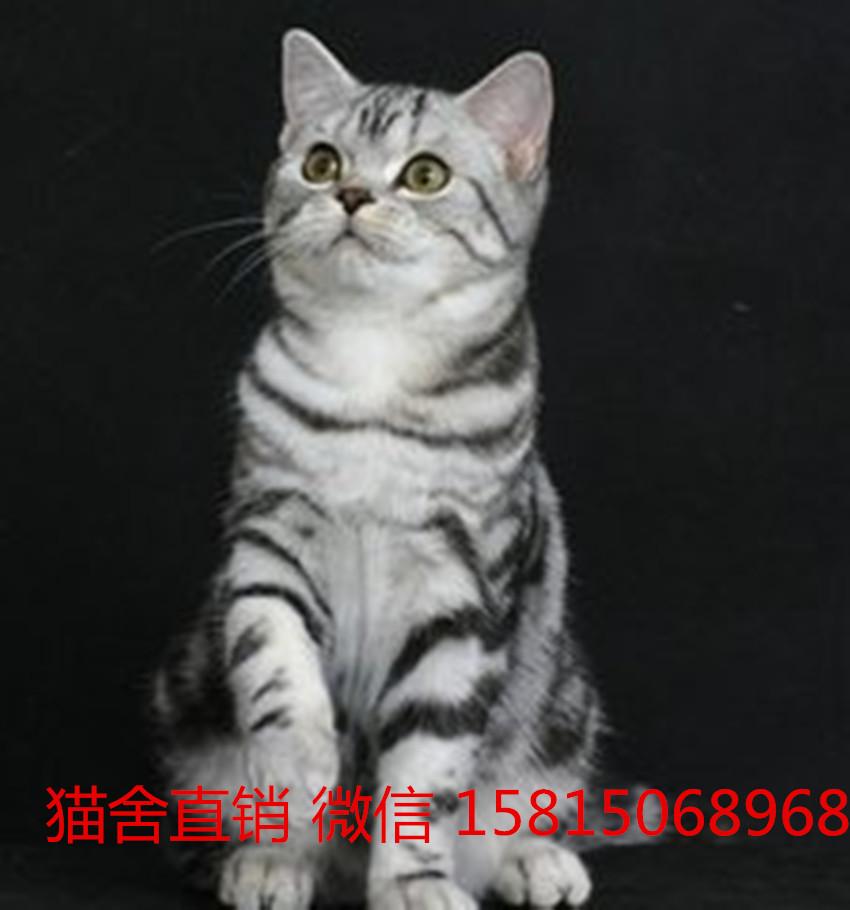 广州哪里有卖美短猫。纯种美短在哪买来店挑选