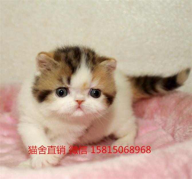广州买宠物猫 广州哪里有卖加菲猫
