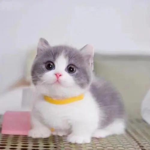 纯种矮脚蓝白猫猫那买好。佛山哪里有卖矮腿猫
