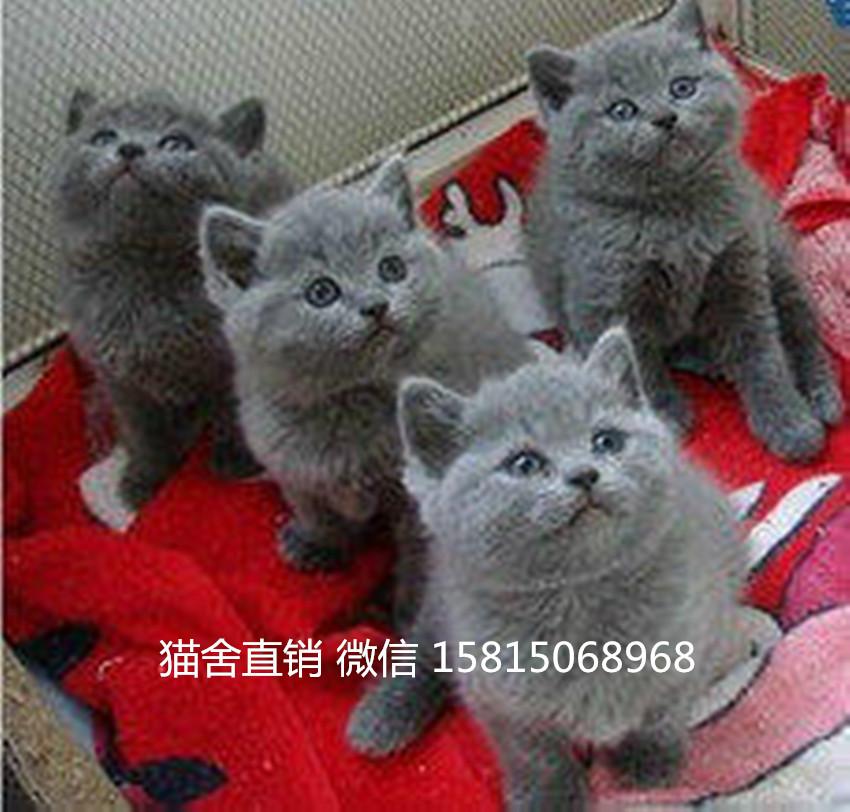 买猫去哪里好中山什么地方有卖英短蓝猫