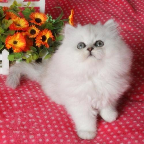 广州哪里有卖金吉拉猫。买金吉拉猫什么价钱