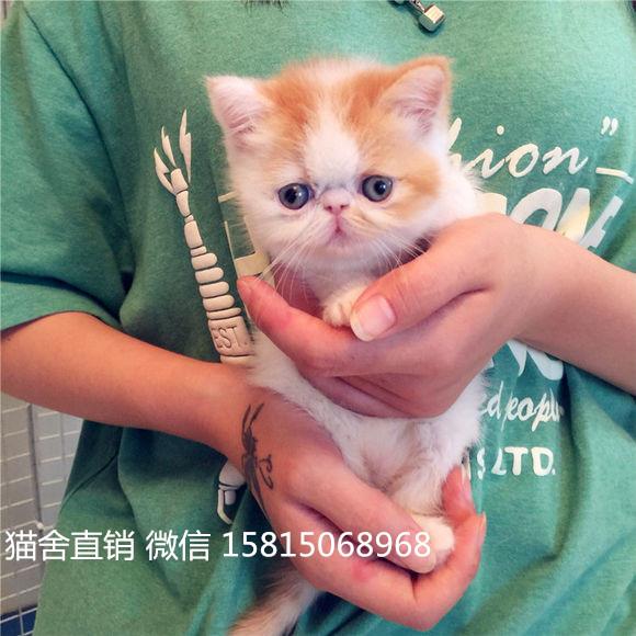 佛山哪里有卖加菲猫,这家是业内口碑猫舍