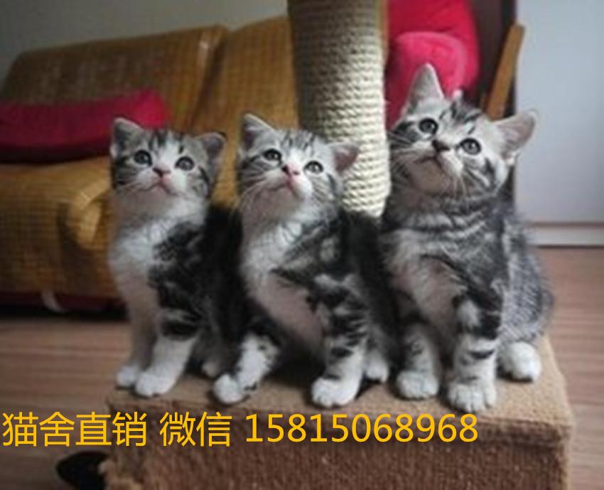 广州哪里有卖美短猫买猫哪里比较好?买猫去哪