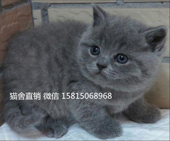 江门哪里有卖蓝猫,猫咪首选 自家繁殖英短蓝猫