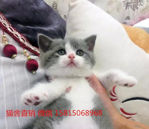 买猫这家靠谱,广州哪里有卖蓝白猫咪