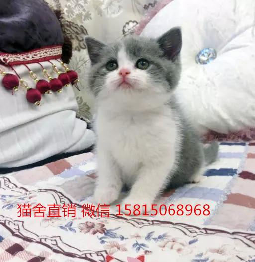 中山哪里有卖蓝白猫,中山北路英短蓝白猫价格