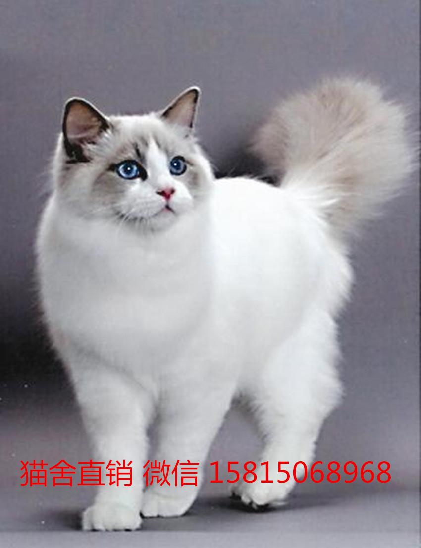 中山哪里买布偶猫幼猫比较好,哪有卖纯种布偶