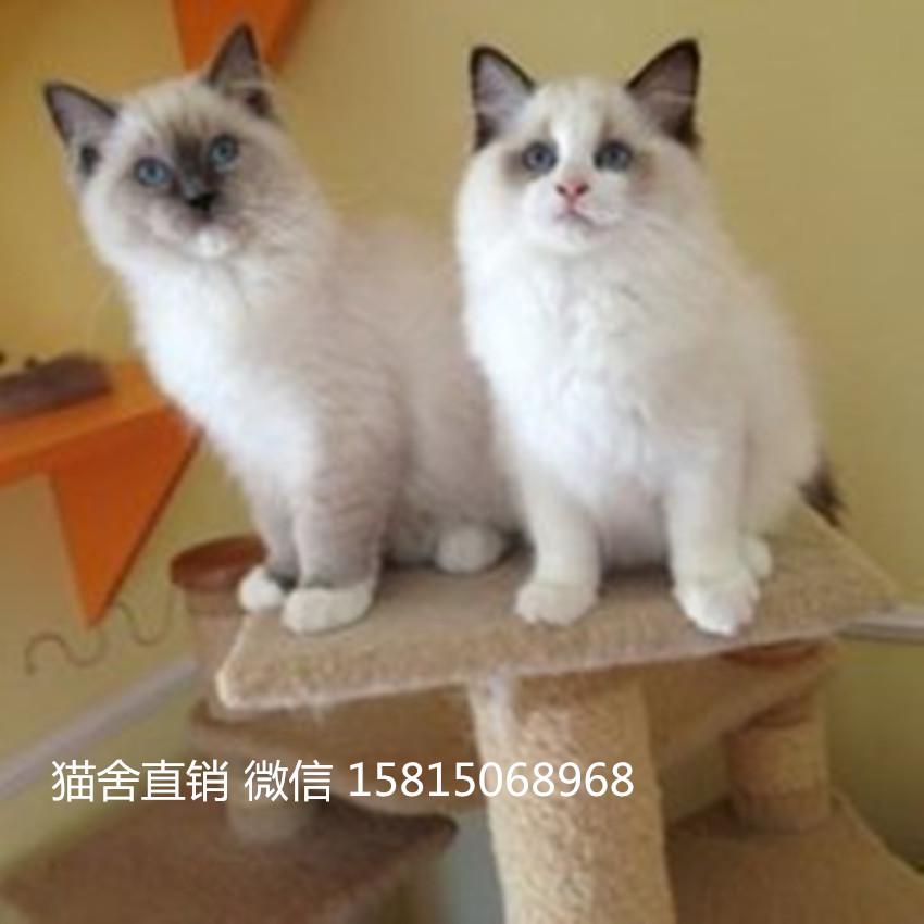 找布偶猫靠谱有健康保障,广州哪里有卖布偶猫