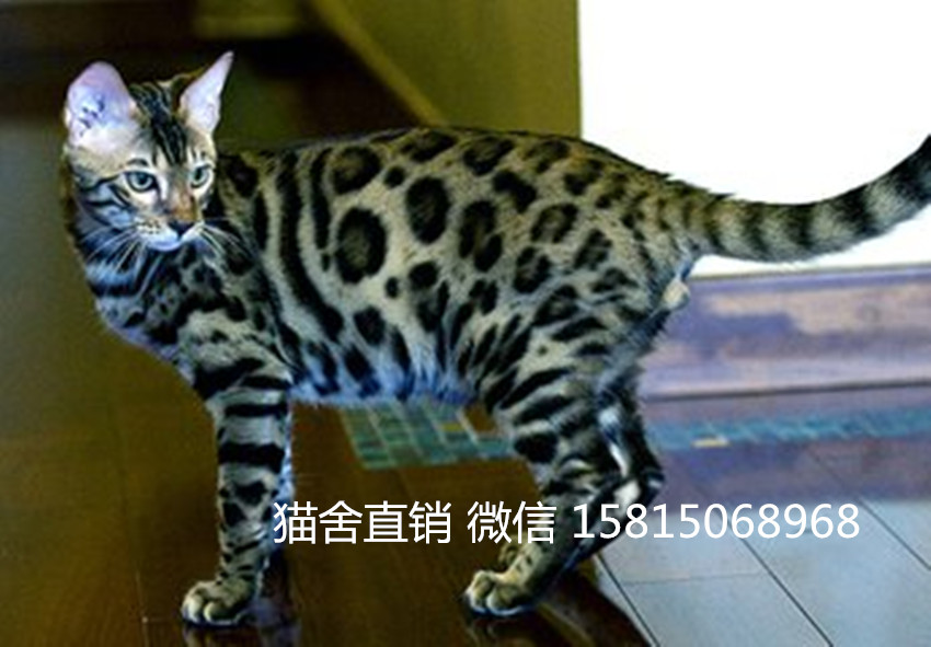 优质健康的宠物猫 买豹猫选这家广州哪里有卖豹猫5