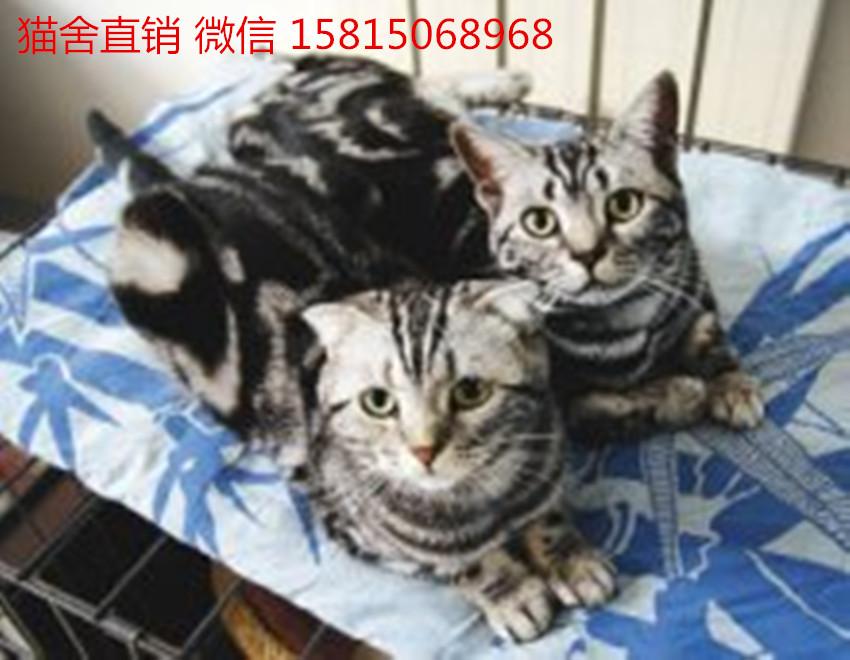 纯种美短幼猫怎么卖广州哪里有卖美短猫