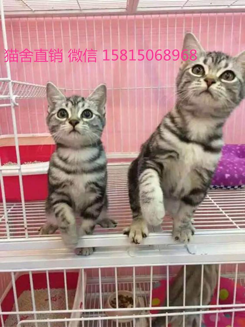 专业宠物猫舍是这家深圳哪里有卖美短猫