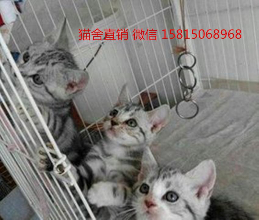 禅城区宠物店佛山哪里有卖美短猫
