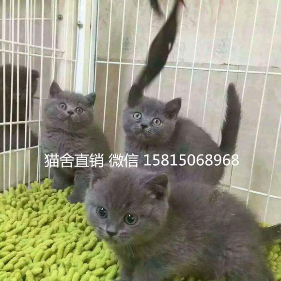 佛山顺德哪里有卖蓝猫,纯种蓝猫小猫多少钱一只