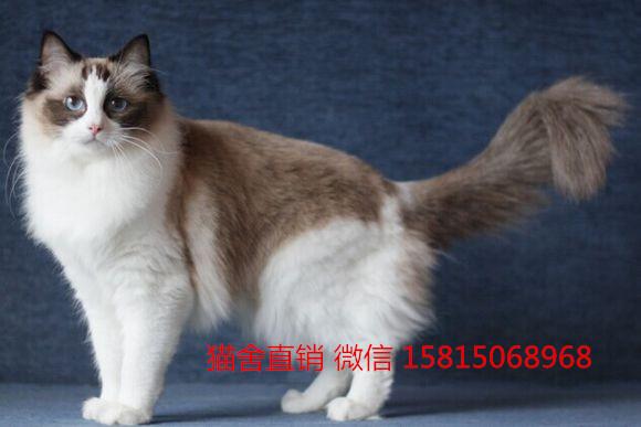 自家繁殖精品布偶猫,江门哪里有卖布偶猫