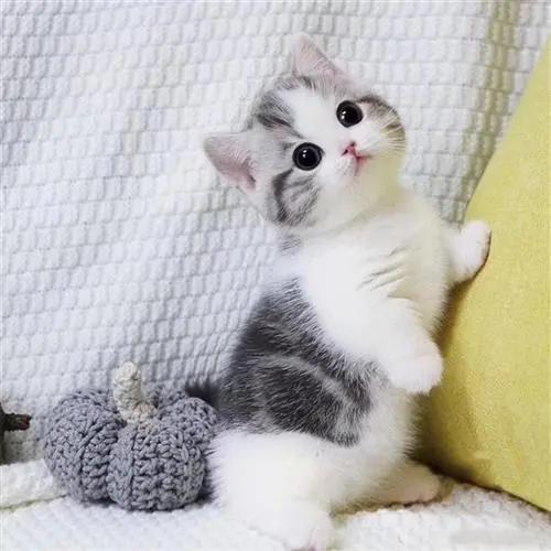 东莞哪里有卖矮腿猫哪里买猫比较正规