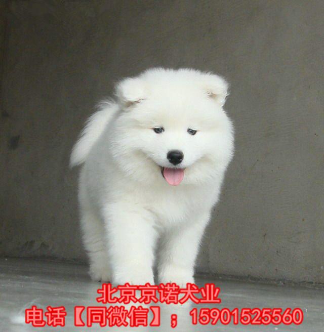 萨摩哪里卖? 纯种赛级萨摩幼犬 萨摩多少钱京诺犬业