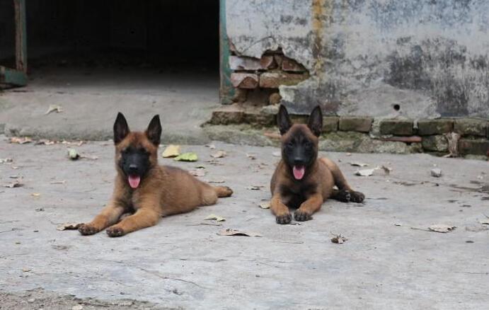 卖马犬纯种马犬曲靖狗场常年卖纯种马犬5