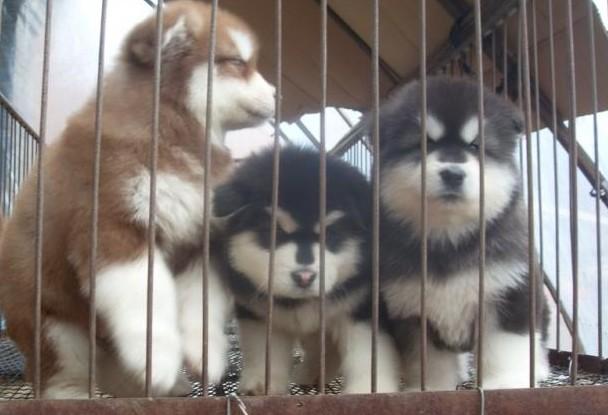 云南文山狗场西那繁殖出售阿拉斯加幼犬包纯种健康