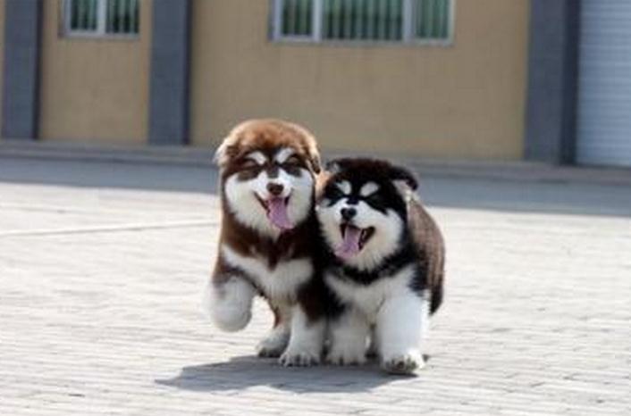 卖阿拉斯加出售阿拉斯加临沧狗场常年卖阿拉斯加5