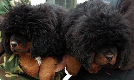 临沧附近有没有藏獒卖狗场常年卖藏獒幼犬