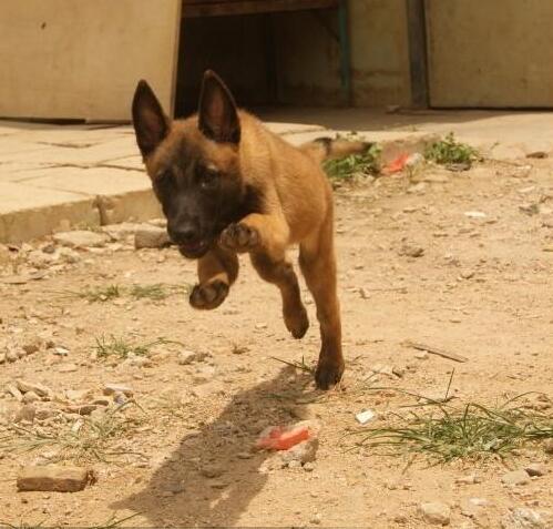 卖马犬纯种马犬曲靖狗场常年卖纯种马犬1