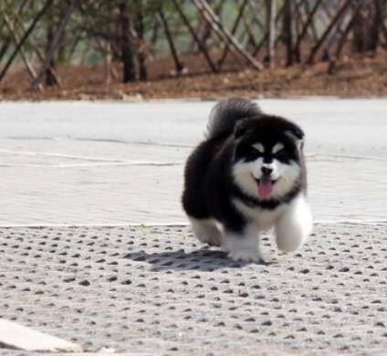 卖阿拉斯加出售阿拉斯加临沧狗场常年卖阿拉斯加1