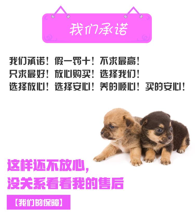 优质泰迪犬幼犬出售 颜色齐全多只可选 可见狗父母10