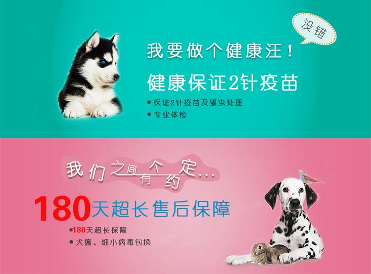 优质泰迪犬幼犬出售 颜色齐全多只可选 可见狗父母12