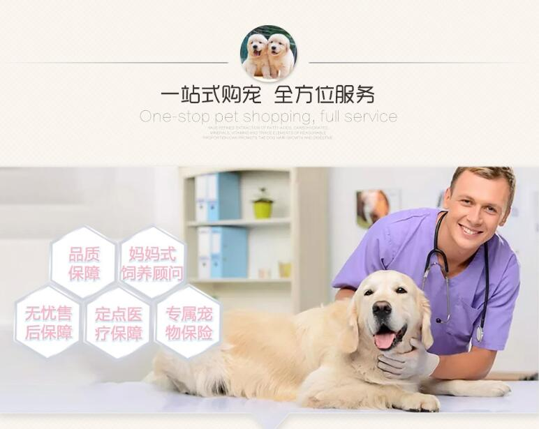高智商边境牧羊犬幼犬出售 诚信交易 终身包纯包健康5