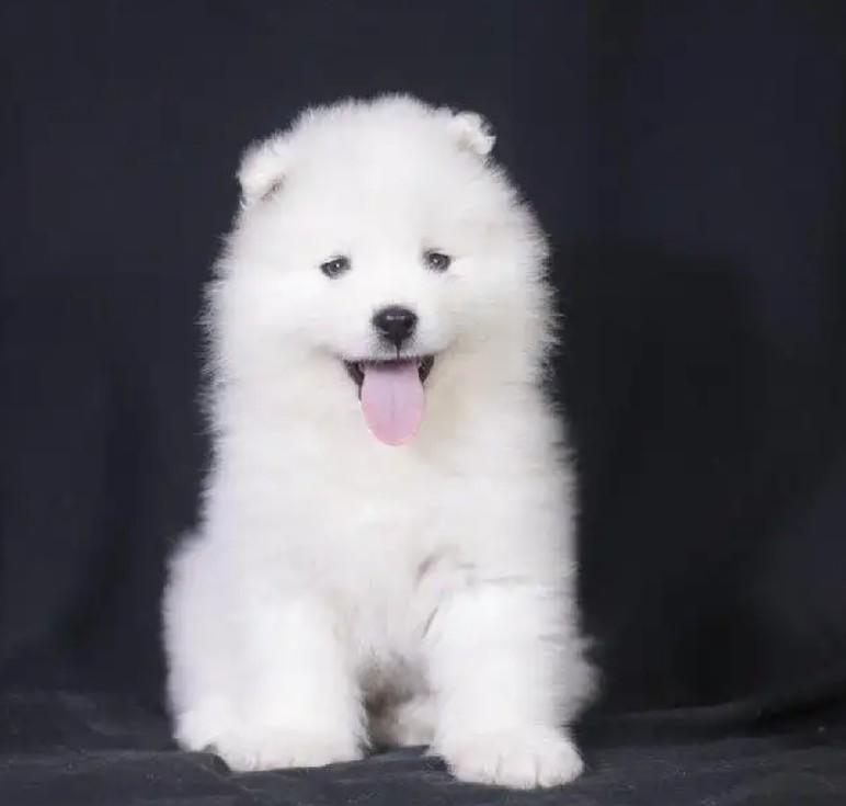 纯正血统萨摩耶犬转让已做疫苗驱虫完美售后保障