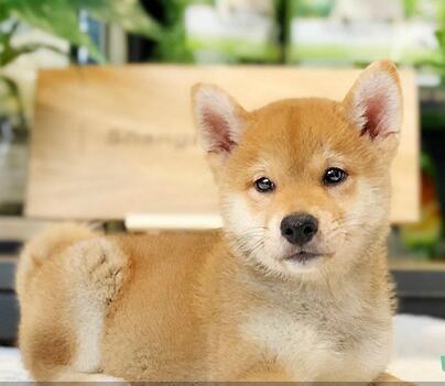出售日系柴犬 忠诚善良柴犬幼犬聪明可靠看家犬